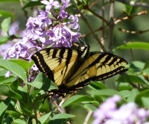 swallowtail